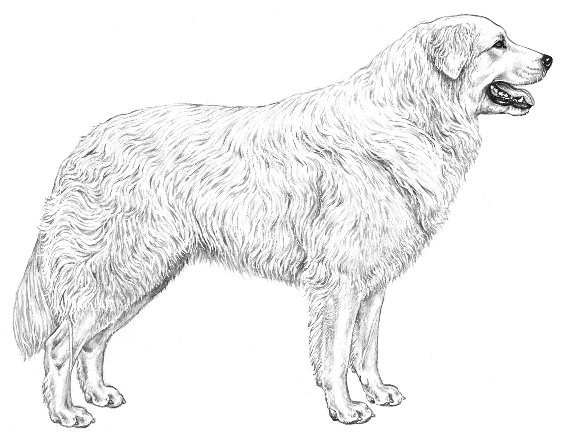 disegno pastore maremmano